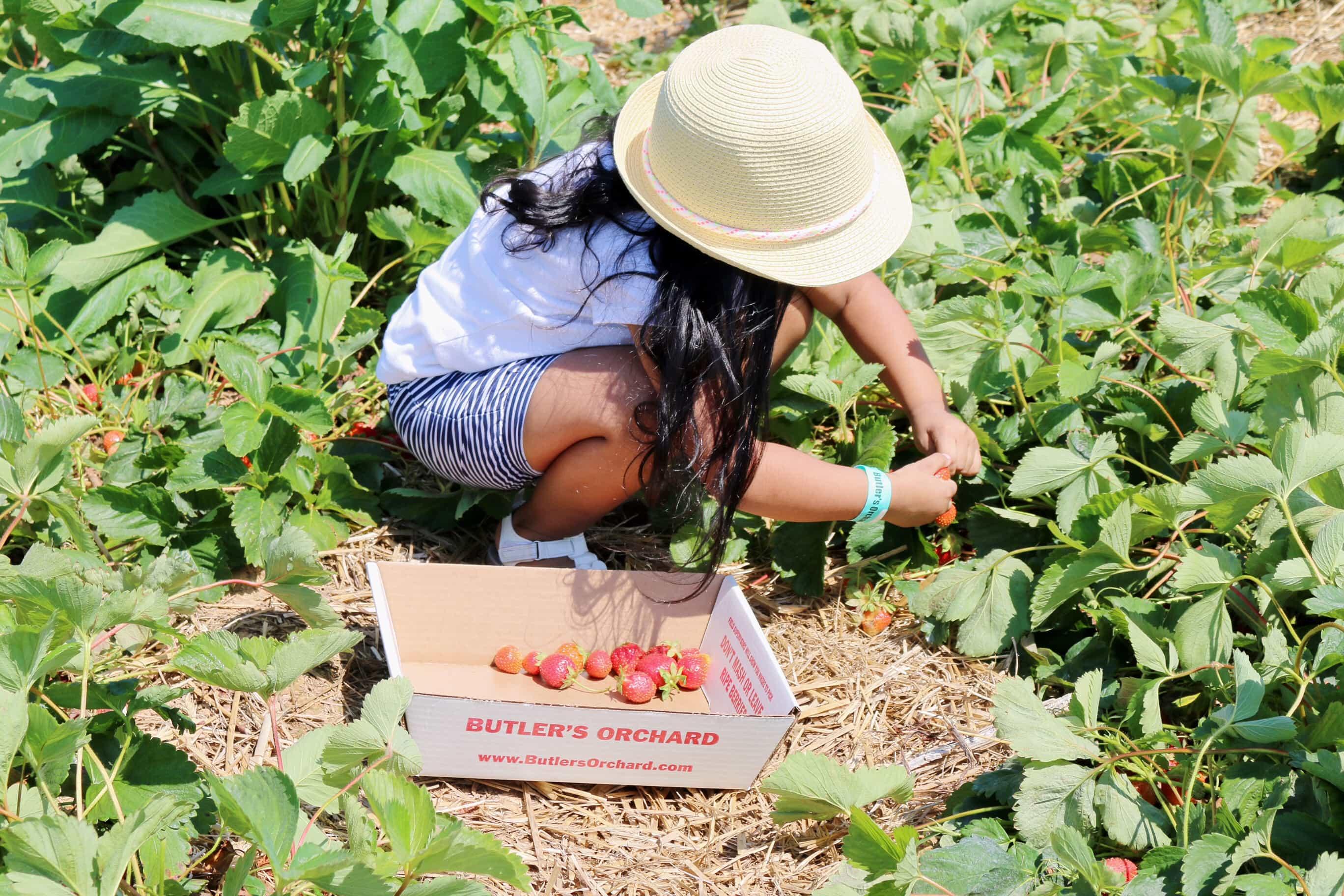 Cosecha-de-fresas