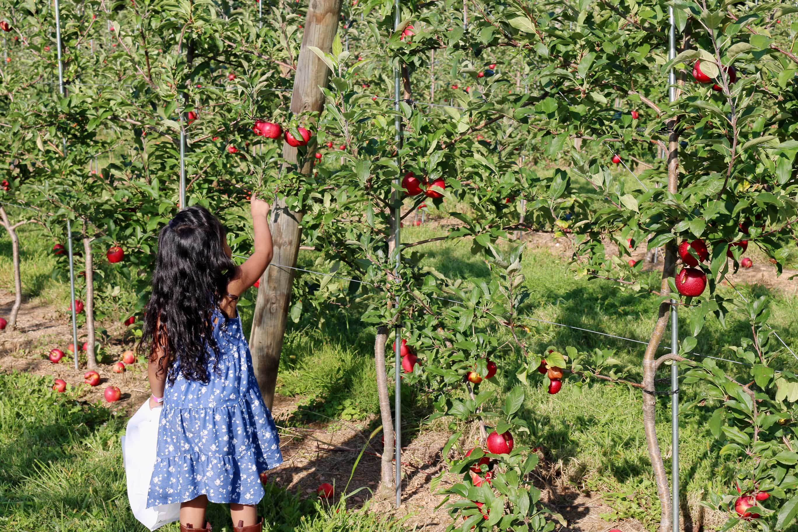Gaver-Farm-Apple=Harvest-Fall-Festivals-Recogiendo-Manzanas