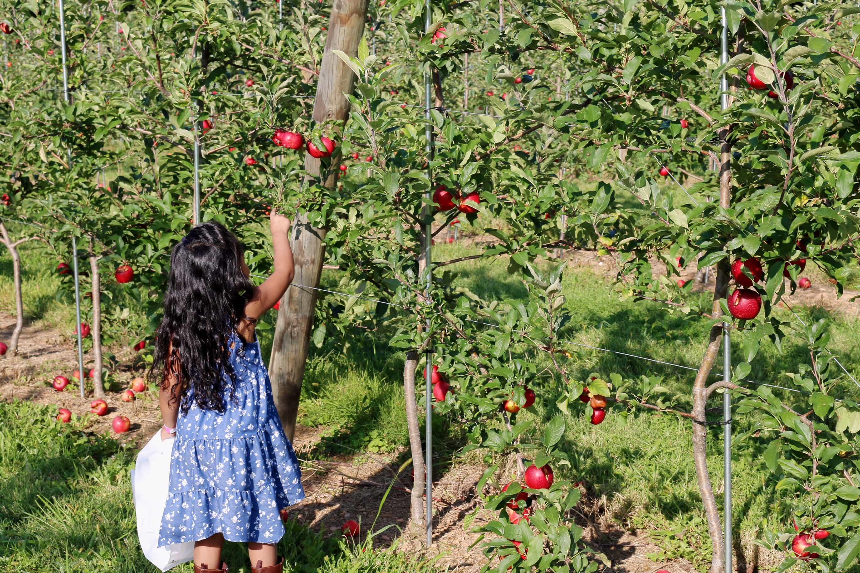 Enlight627 - Fin de Semana Recogiendo Manzanas